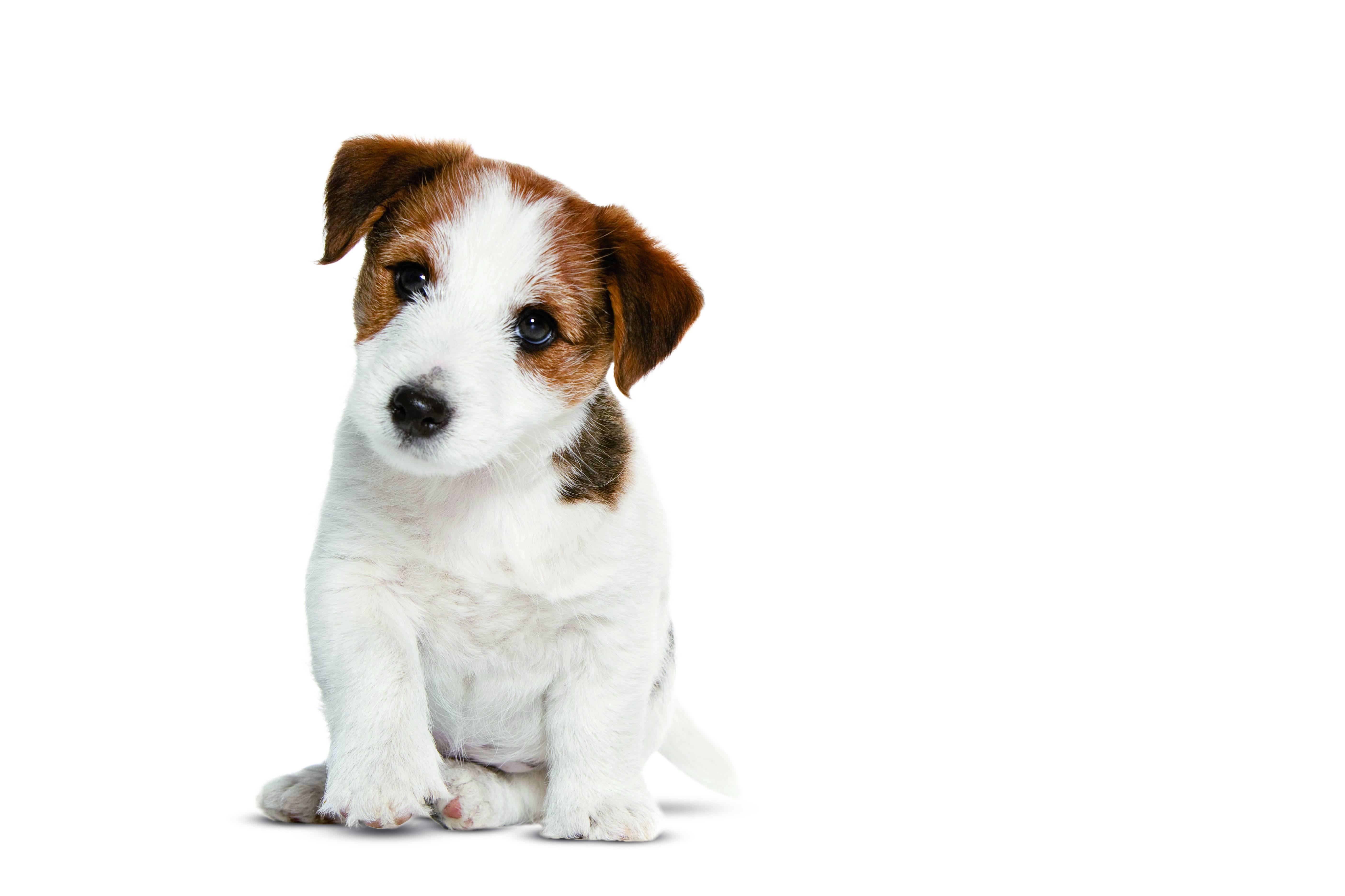 fiche chien n 13 la castration du chien clinique v t rinaire yasmine. Black Bedroom Furniture Sets. Home Design Ideas