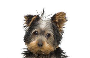 Fiche Chien N 14 La Cataracte Clinique Vétérinaire Yasmine